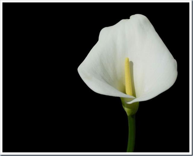 О суевериях и особенностях ухода за цветком калла