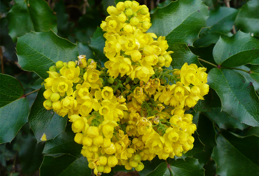 Магония падуболистная (Мahonia aquifolia)