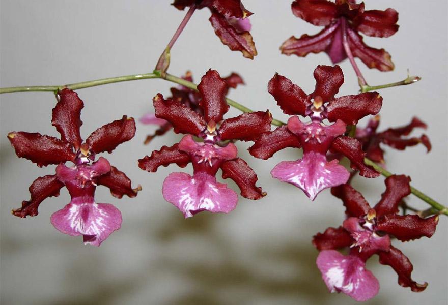 """Орхидея (Oncidium """"Sharry Baby"""") или Шоколадная орхидея"""
