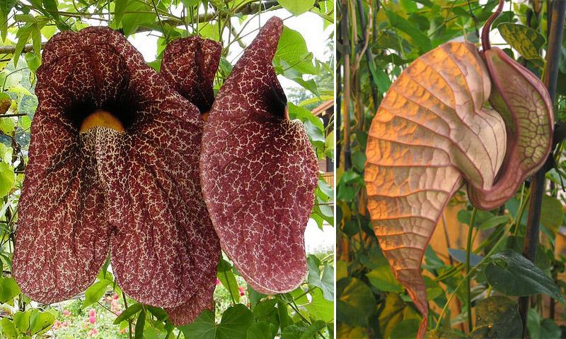 Аристолохия гигантская и Аристолохия крупноцветковая