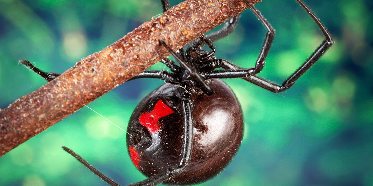 dedliest-insects-1-widow-spider-ppcorn