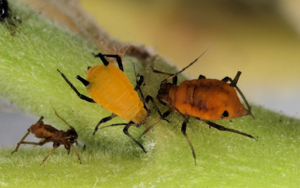 the-10-deadliest-insects-in-the-world-1