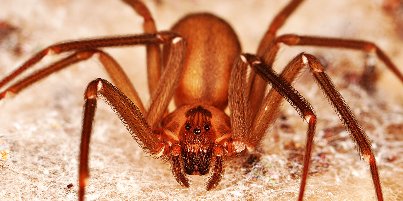 the-brown-recluse-spider-ppcorn